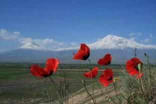 Papaver Armeniaikum