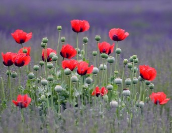 papaver_beauty_of_livermere