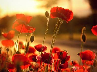 poppy-flowers-12