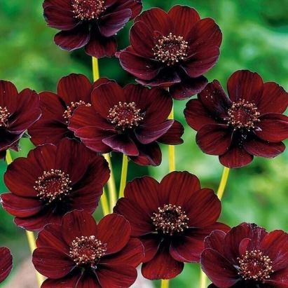 Шоколадная Космея. Единственный цветок в мире, который пахнет шоколадом.