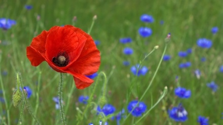 poppy_flower_nature_219157