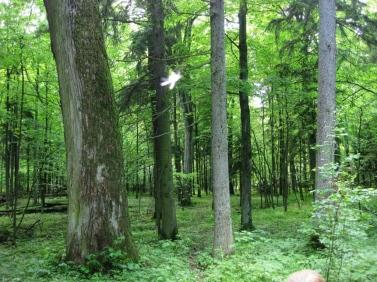 Բելովեժյան_անտառի_ծառեր.jpg