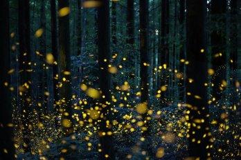 Fireflies_6